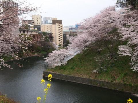 東京 桜が見頃なら千鳥ヶ淵でそぞろ歩き!都心のど真ん中にこんなご機嫌なところが!