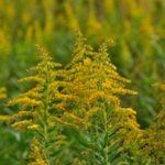 ブタクサの花粉で咳が出る?少し続いたりして心配な時にすべきこととは